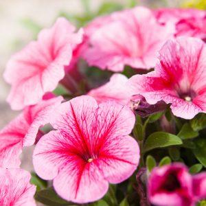 Hoa Dạ Yên Thảo - Pentunia