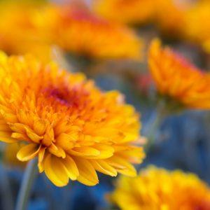 Hoa Cúc Các Loại - Chrysanthemum